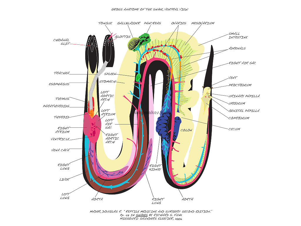 Gross Anatomy of the Snake | citysnakes